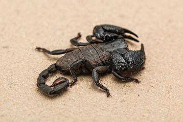 scorpion toxin heart attack reatment